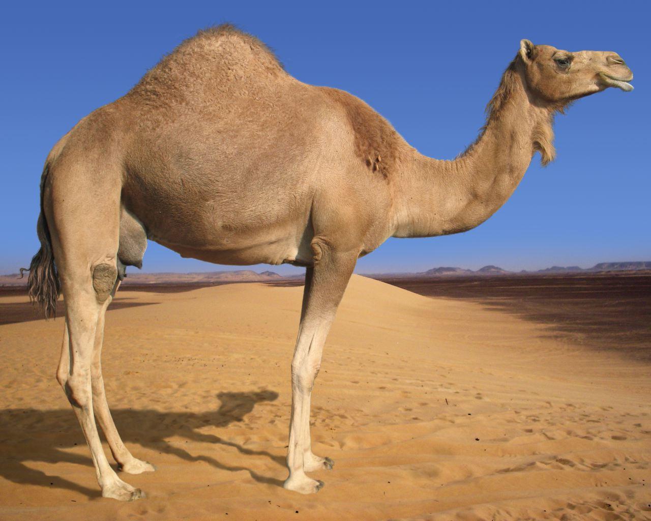 Arabian-Camel-1280x1024